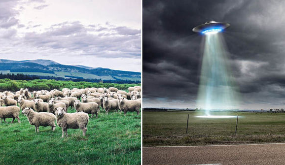 sheep-abduction