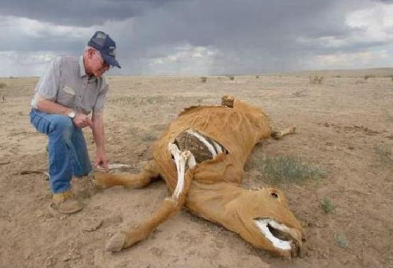 Risultati immagini per cattle mutilations